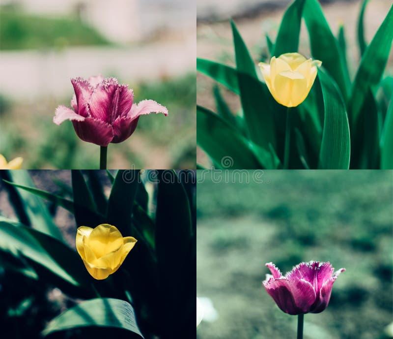 Pink yellow tulip collage stock image