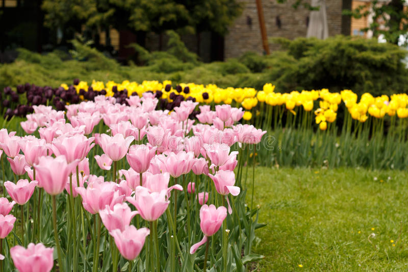Pink and Yellow tulip flowers royalty free stock photography