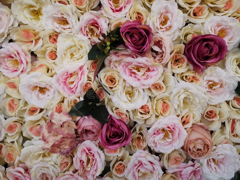 Pink and yellow vintage roses stock photography