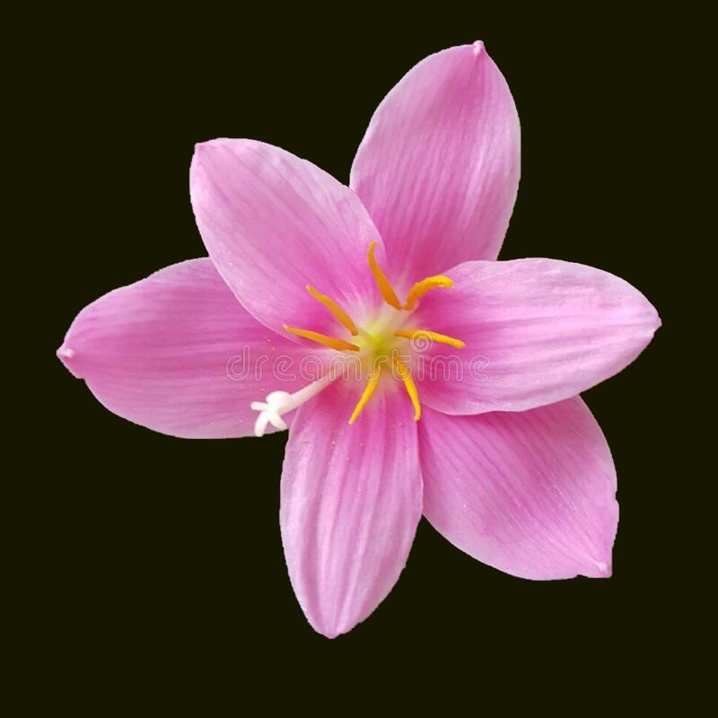 Pink yellow and white flower royalty free stock photo