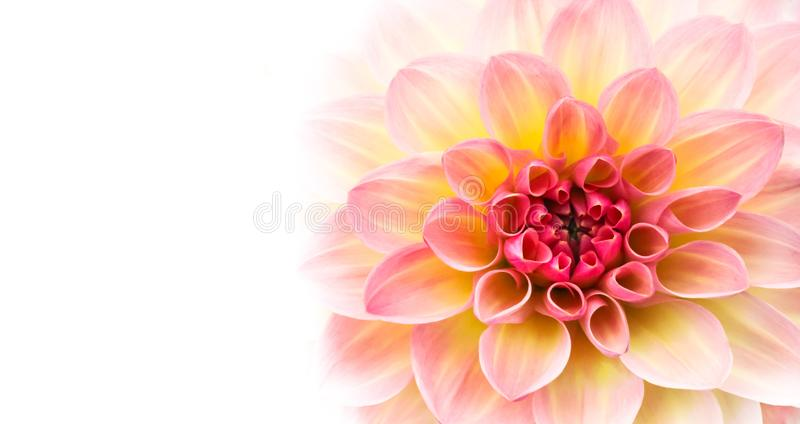 Pink, yellow and white fresh dahlia flower macro photo isolated against white wide banner empty background. Picture in color emphasizing the light different royalty free stock image