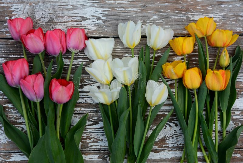 Pink, yellow and white tulips lie on a light gray wooden background. Top view royalty free stock images