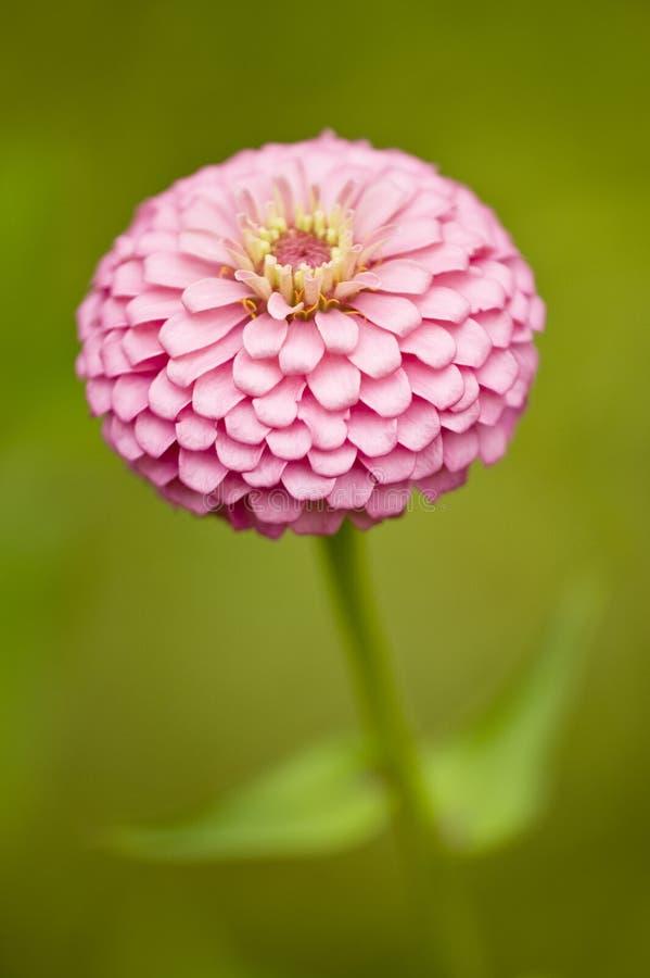 Free Pink Zinnia Royalty Free Stock Image - 6168006