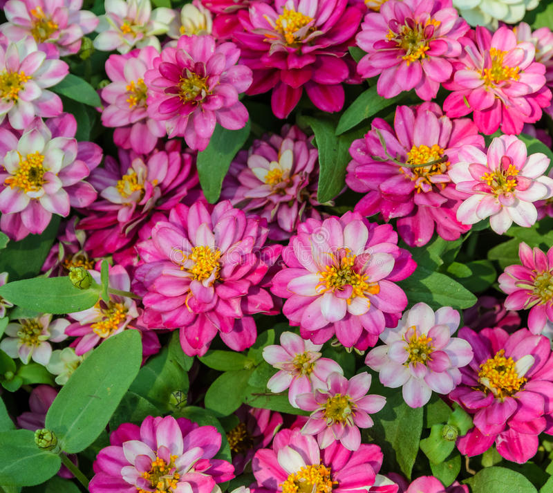 Free Pink Zinnia Elegans Stock Images - 38917144