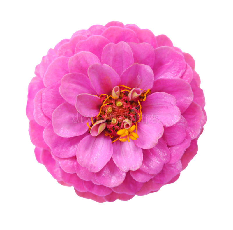 Free Pink Zinnia Flower Stock Photography - 32391262