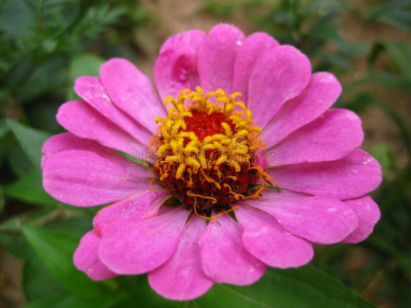 pink-zinnia-flower royalty free stock photo
