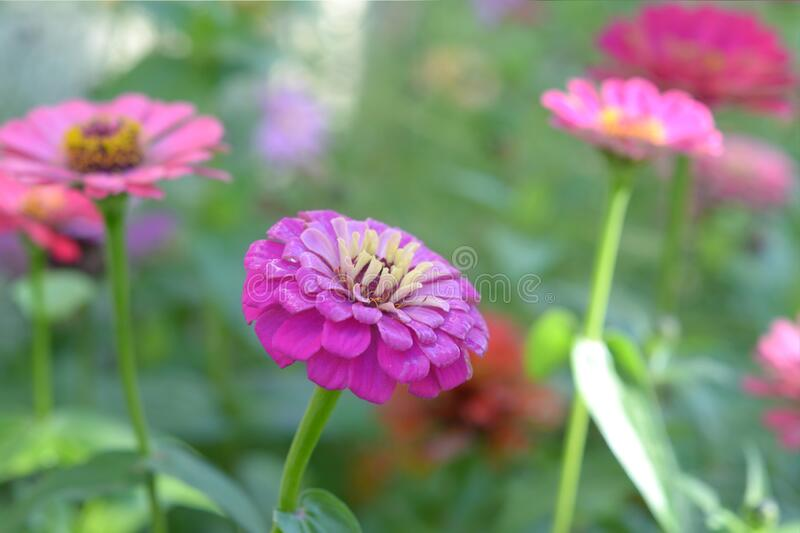 Pink Zinnia flower. Blooming in garden on day time royalty free stock photos