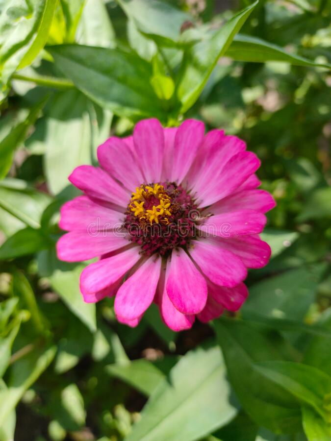 A pink zinnia flower is blooming in the middle of the green leaves royalty free stock photography