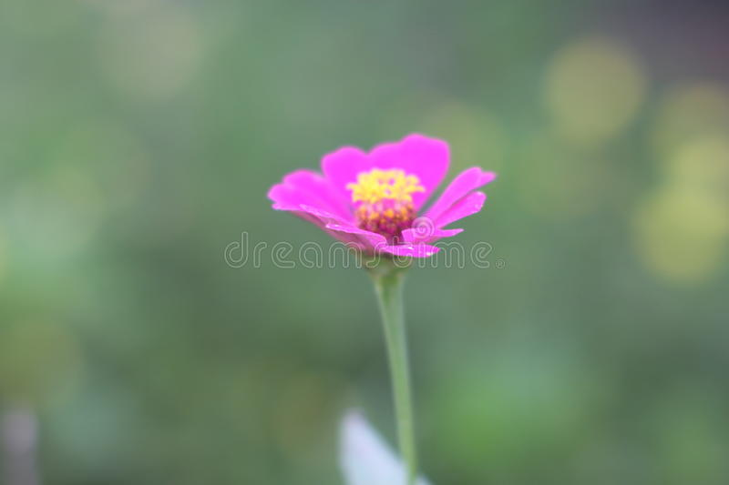 Pink zinnia flower on green background. royalty free stock photography
