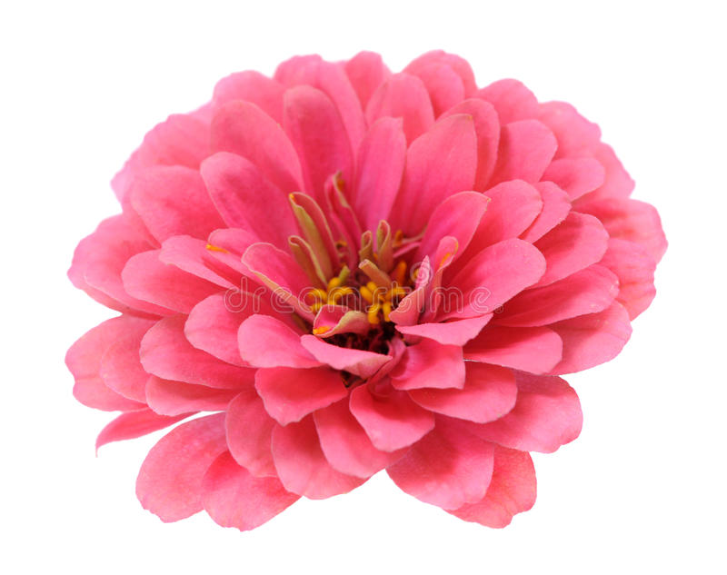 Pink zinnia stock photo
