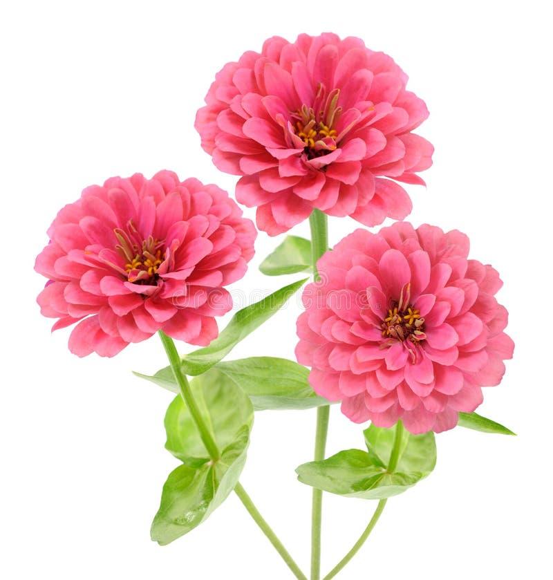 Pink zinnia royalty free stock photo