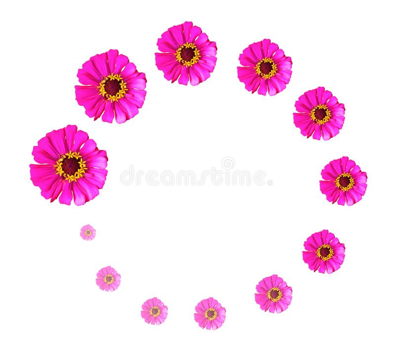 Pink Zinnia flowers arranged in a circle on a white background royalty free stock images