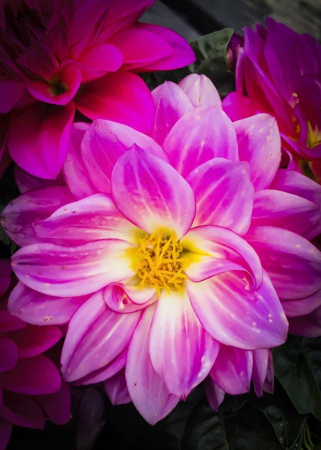 Pink zinnia royalty free stock image