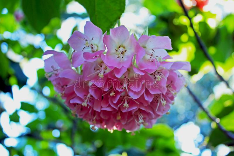 Pinkball träd, tropisk vanlig hortensia, Dombeya wallichii royaltyfri foto