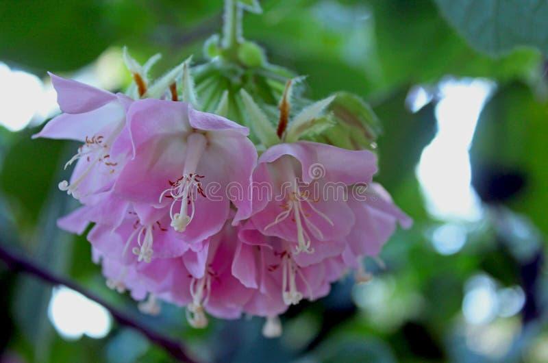 Pinkball träd, tropisk vanlig hortensia, Dombeya wallichii royaltyfria foton
