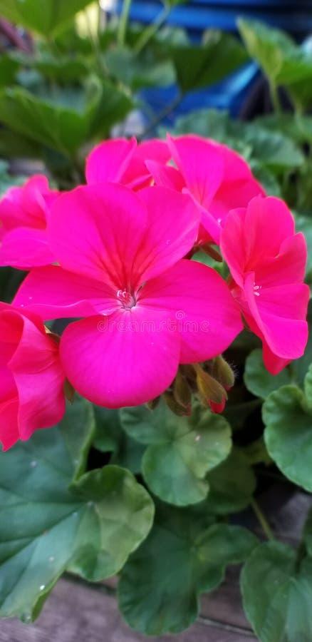 Pinkblüte lizenzfreies stockbild