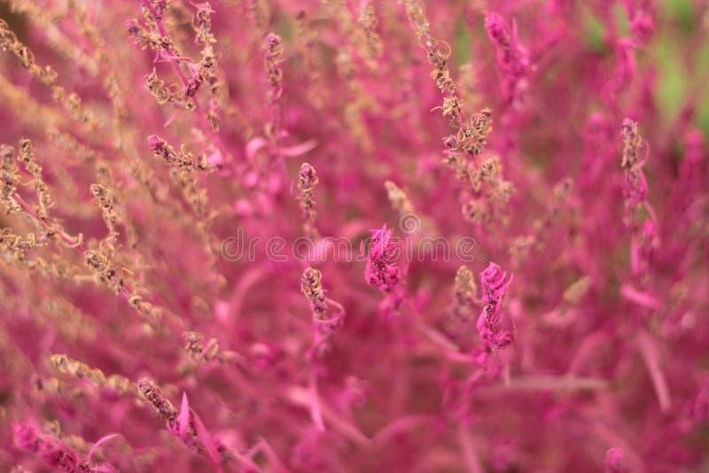 Pinkfarbene Kochiablumen stockbilder