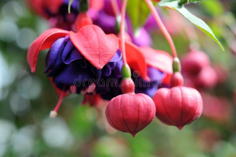 Pinkfarbene Lena-Blume lizenzfreie stockfotos