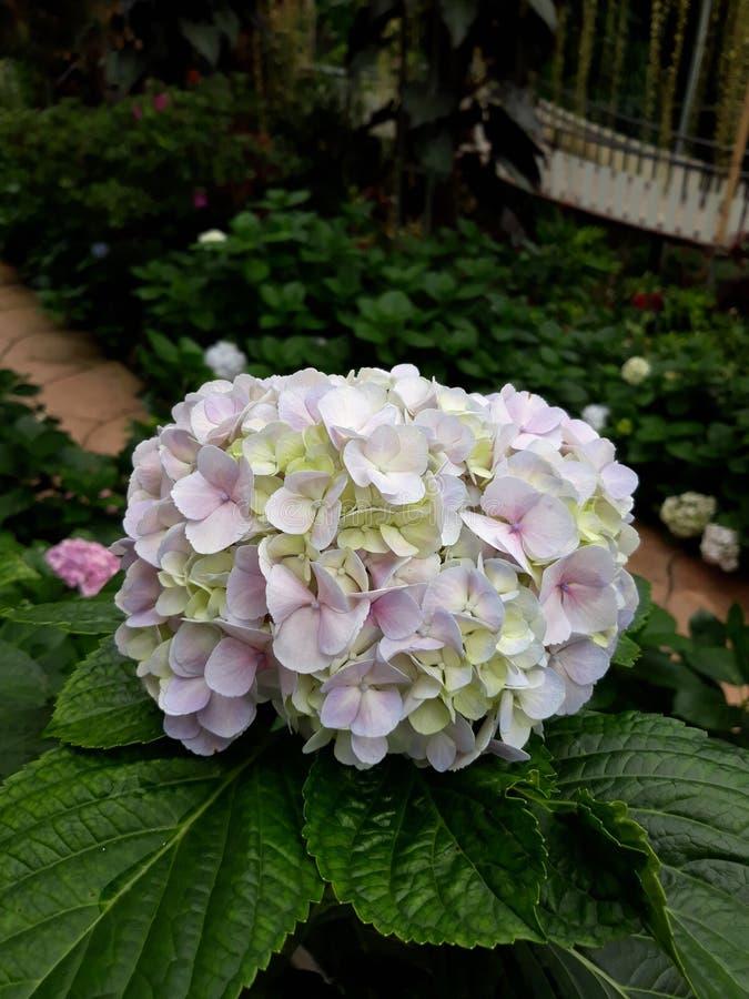 Pink white hydrangea. Pinkflower whiteflower garden potplant tree fresh beautiful stock photo
