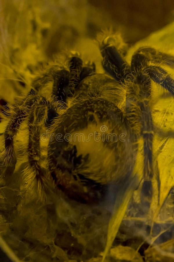 Pinkfoot Goliath tarantula w naturze rzadko widzią obraz royalty free