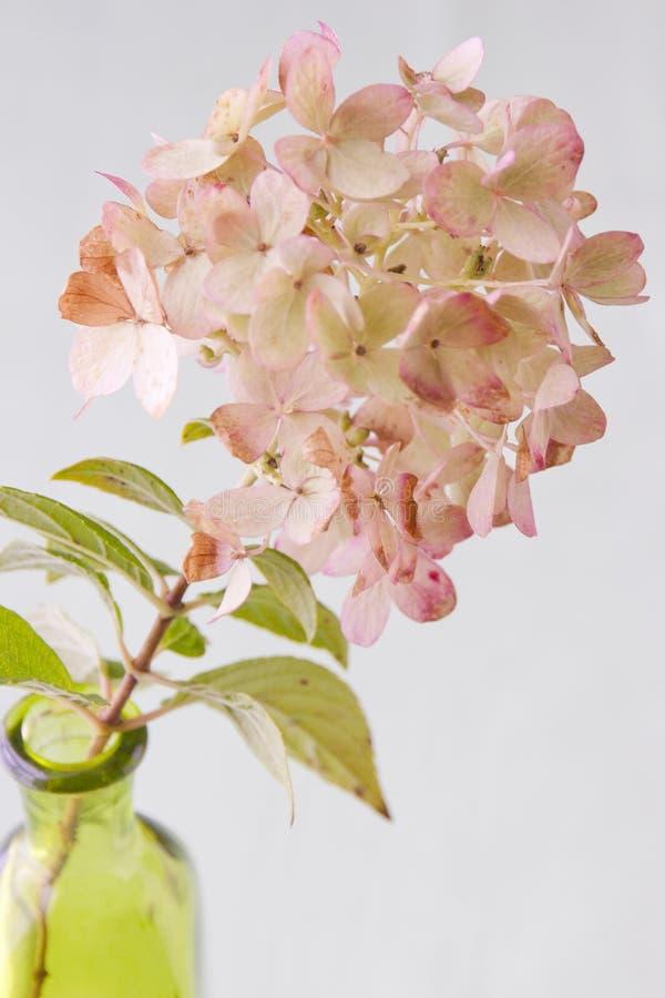 Pinkish - grön höstvanlig hortensia arkivfoton