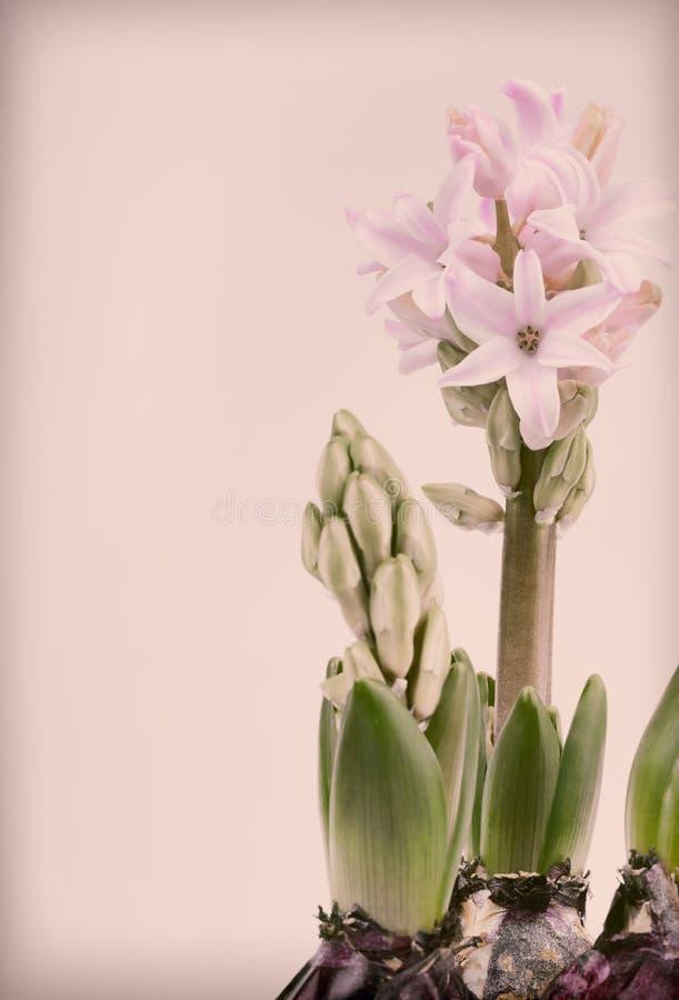 Hyacint på tappningbakgrund arkivfoto
