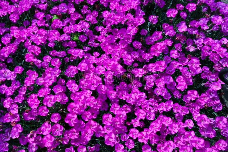 Pinks - Fire Witch pinks - Dianthus flowers, flower background stock photo