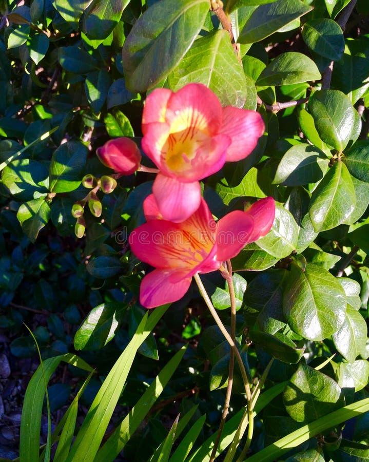 Pinks Fresia lizenzfreies stockbild