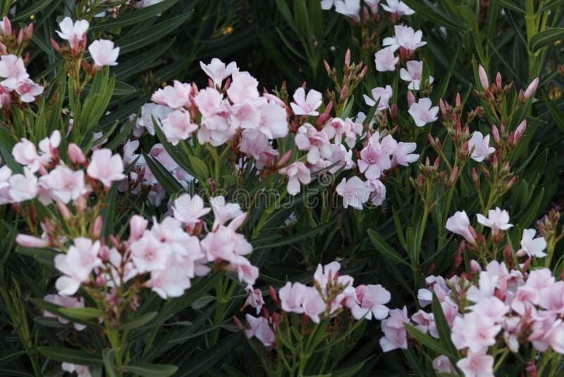 PinkStarFlowerBunches zdjęcie royalty free