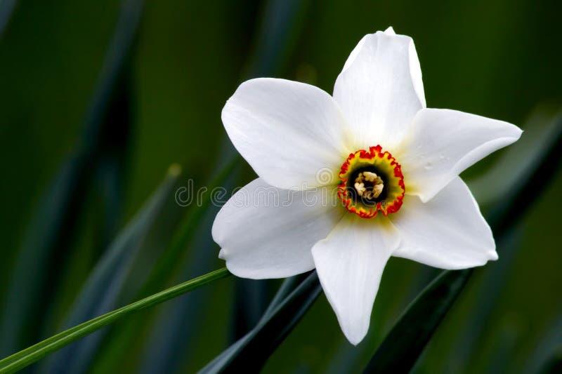 Pinkster leluja (narcyza poeticus) zdjęcia stock