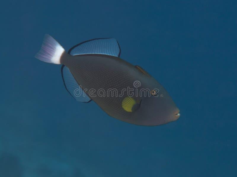 Pinktail引金鱼 库存图片