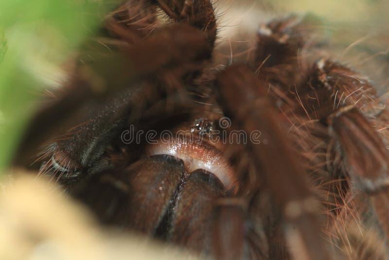 Goliath Tarantula Stock Images Download 70 Royalty Free Photos
