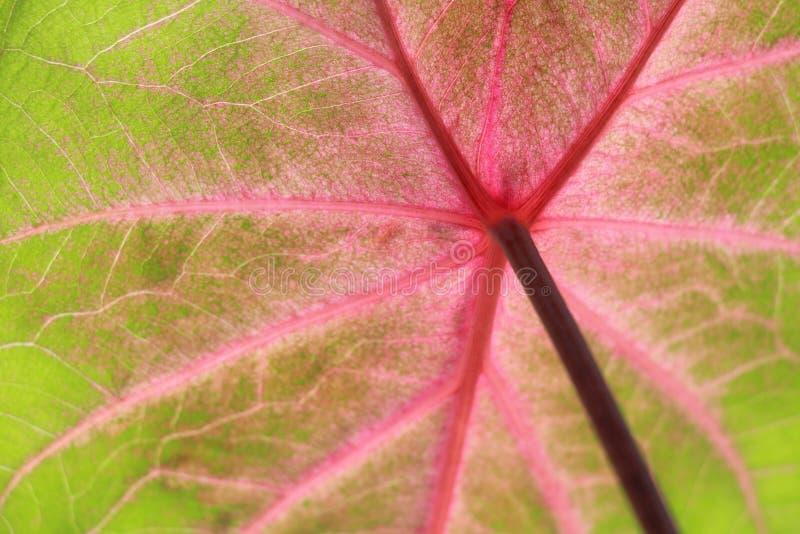 Pinky лист стоковая фотография