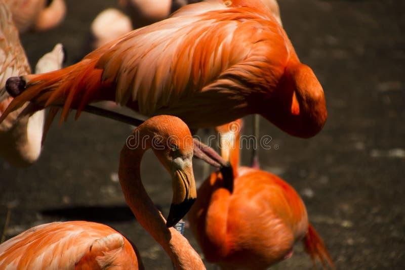 Pinky фламинго стоковые фотографии rf
