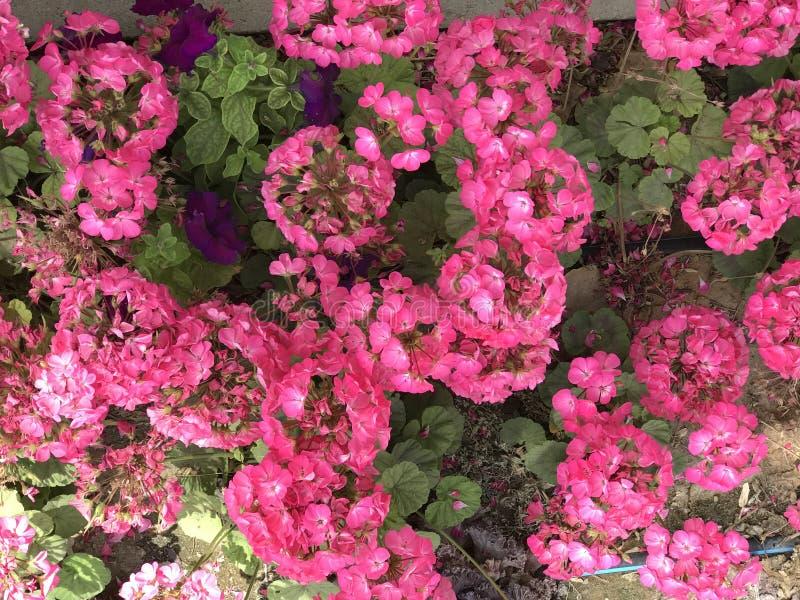 Pinky цветки Время весны… подняло листья, естественная предпосылка внушительный климат стоковые фотографии rf