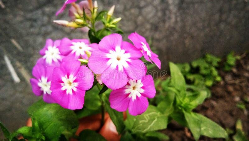 Pinky цветок стоковая фотография rf