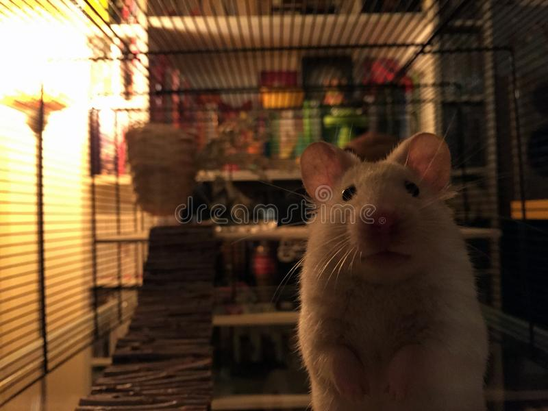 Pinky the Hamster at home stock photos