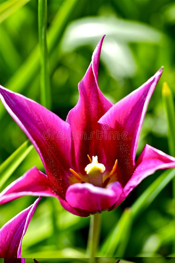 Download Pinky Tulip stock image. Image of grass, leafs, tulip - 24165027