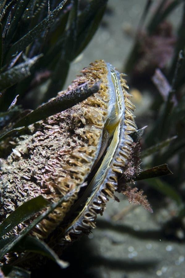 Pinna nobilis (essbare Meerestiere, Muskeln) lizenzfreie stockfotos