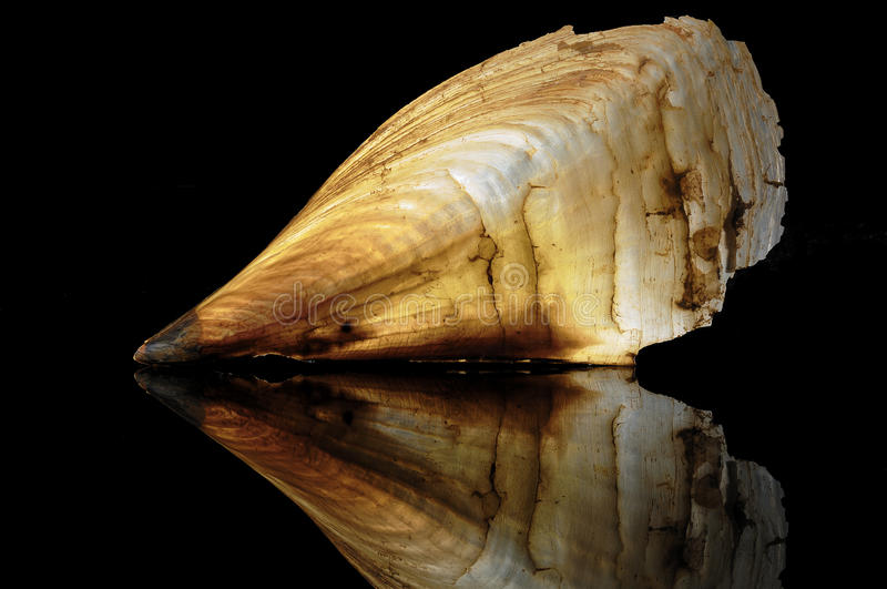 Pinna nobilis, Pinna gigas Chemnitz. Pinna nobilis, common name the noble pen shell is a species of pen shell, a large marine bivalve mollusk in the family stock photography