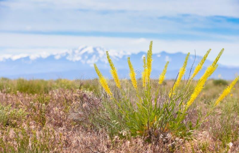 Pinnata de Prince's Plume Plant Stanleya con la cordillera Mt de la sal del La Fondo de Peale fotografía de archivo