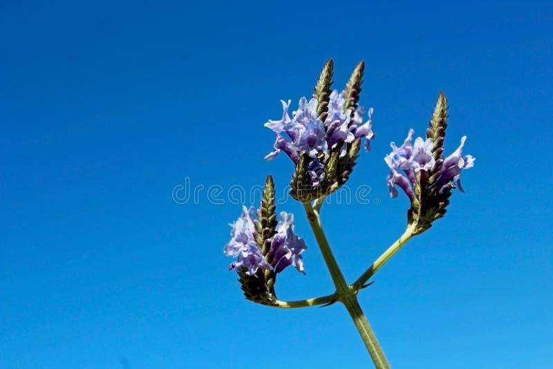 Pinnata Lavender,Jagged Lavender,Fern Leaf Lavender stock images
