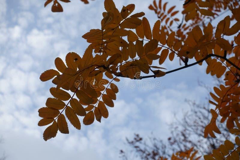 Pinnate φύλλα της σορβιάς το φθινόπωρο στοκ φωτογραφία