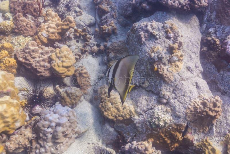 Pinnate batfish (pinnatus Platax) στοκ εικόνα
