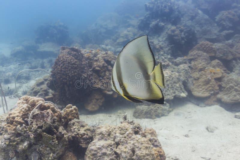 Pinnate batfish (pinnatus Platax) στοκ εικόνα με δικαίωμα ελεύθερης χρήσης