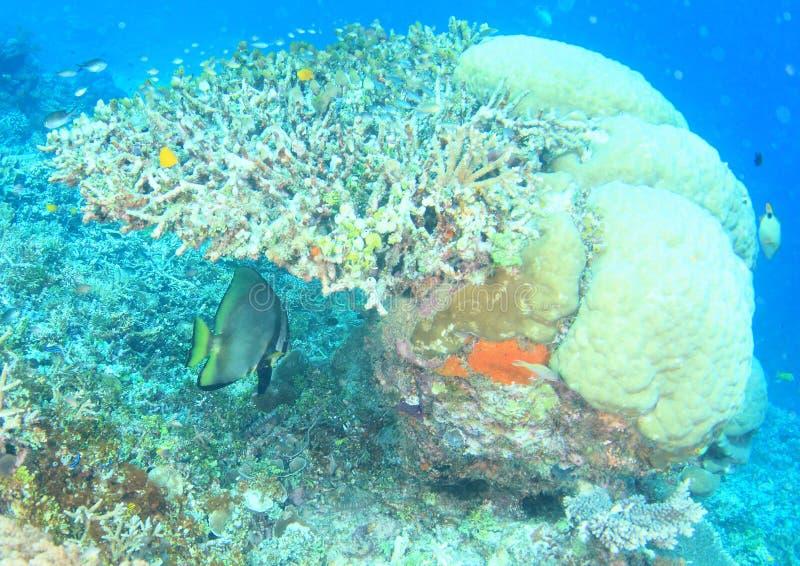 Pinnate spadefish ψαριών στοκ εικόνες με δικαίωμα ελεύθερης χρήσης