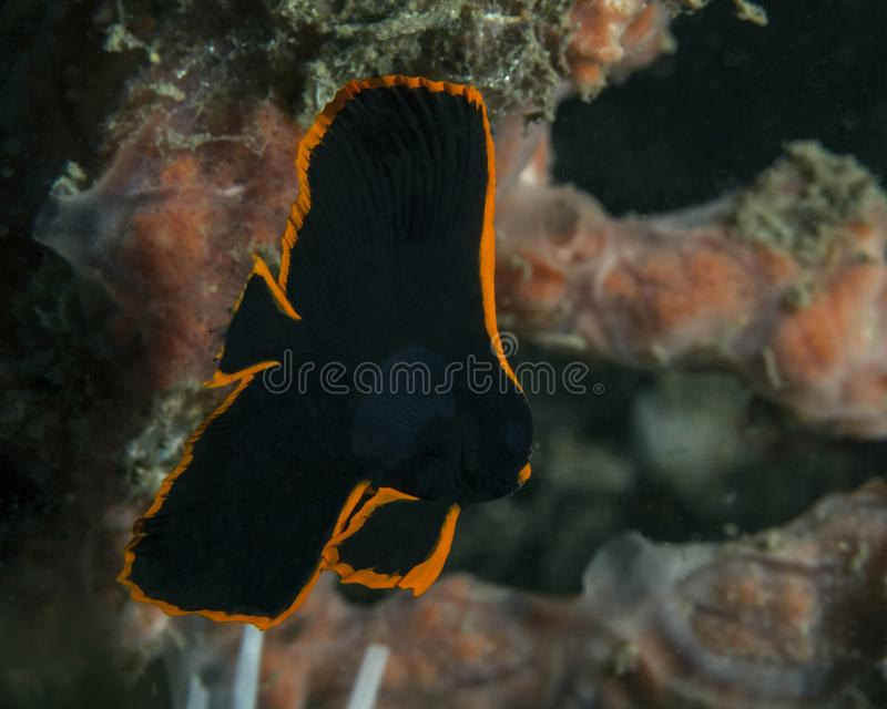 Pinnatus orange de Platax de batfish d'anneau ; Forme juvénile de batfish adulte images libres de droits