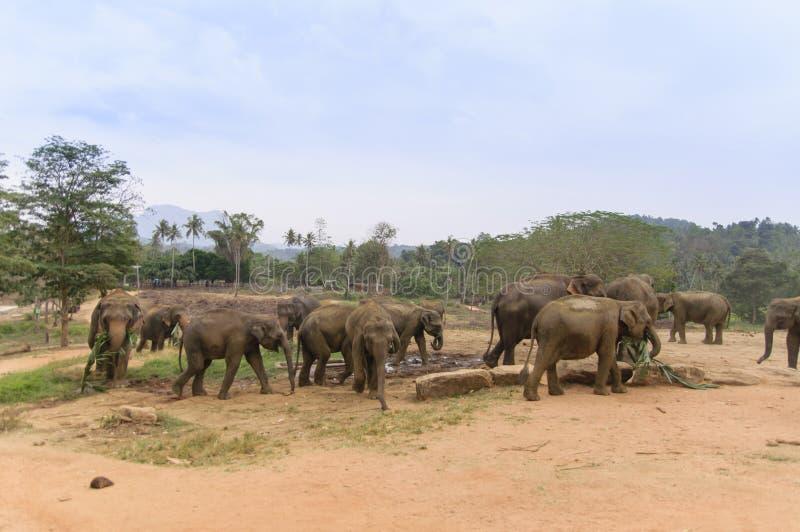 Pinnawala Elephant Orphanage royalty free stock photo