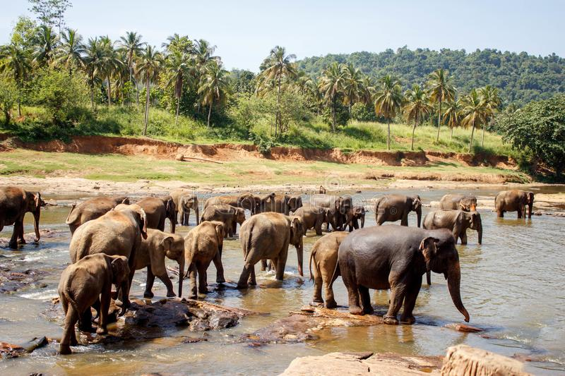 Sri Lanka: elephants in drinking and bathing in Pinnawala, Sri Lanka. Pinnawala Elephant Orphanage is an orphanage, nursery and captive breeding ground for wild stock photo