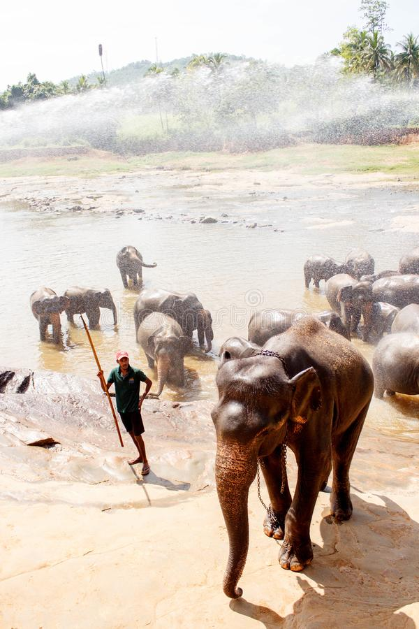 Elephants Pinnawala sanctuary , Sri Lanka. The Pinnawala Elephant Orphanage is situated northwest of the town of Kegalle, halfway between the present capital royalty free stock photography